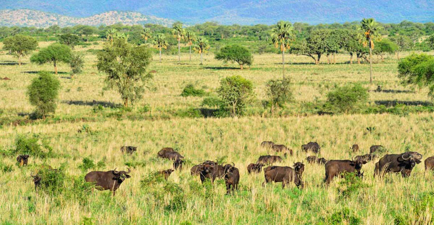 Places to Visit in Africa A-herd-of-buffaloes-in-Kidepo-Valley-National-Park