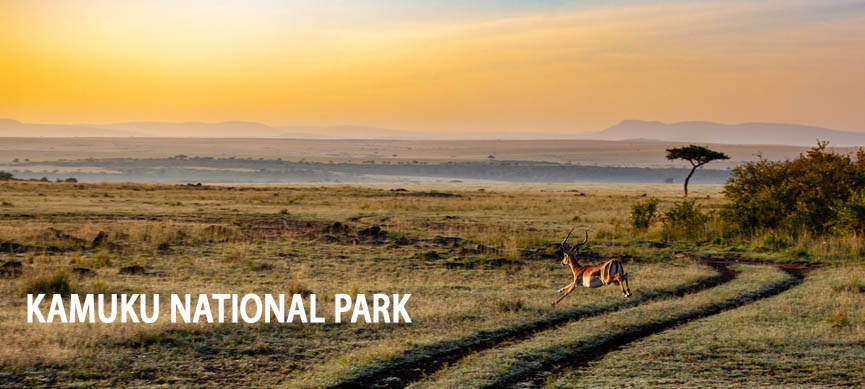 An antelope running in the Kamuku National Park in Savannah while the sun is going to set down