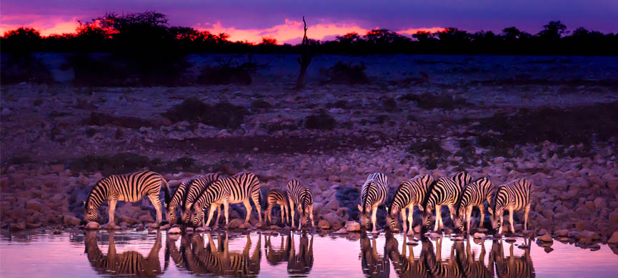 a group of zebra drinking water in the lake of botswana in the morning