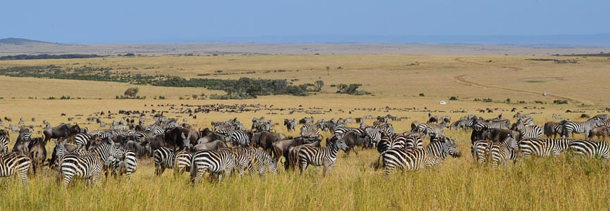 a group of zebra roaming around in Masai Mara national Reserve in Kenya