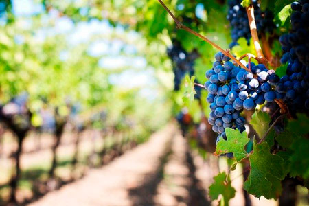 Growing grapes that you can use for wine as a good way to make money on land