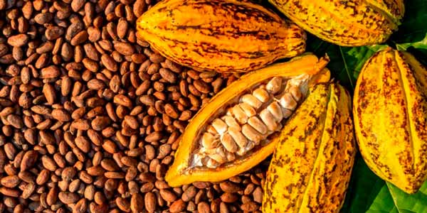 fresh cocoa beans from a tree