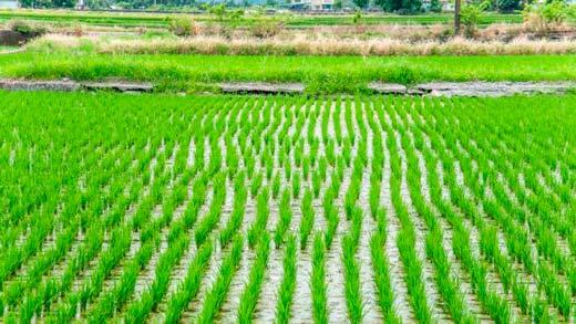 a big rice farming